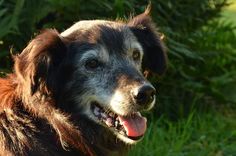 Aggiungi un nonno a tavola: 6 motivi per adottare un cane anziano